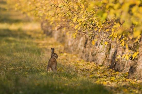 Obraz Zajíc ve žlutém listí