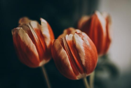 Obraz Čerstvé tulipány