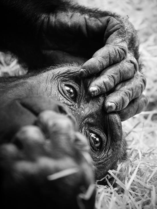 Obraz Gorila nížinná