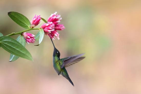 Obraz Kolibřík