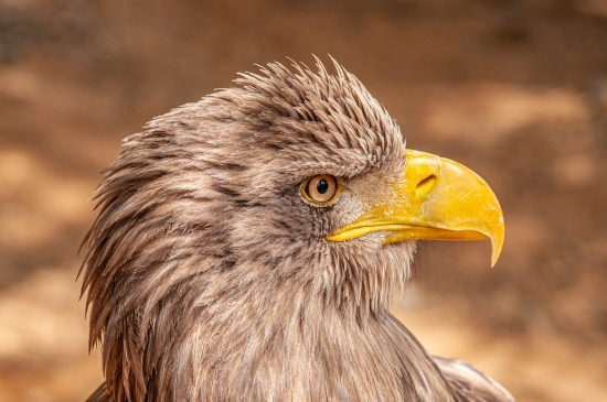 Obraz Portrét orla mořského