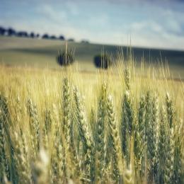Obraz Zlatavé obilí