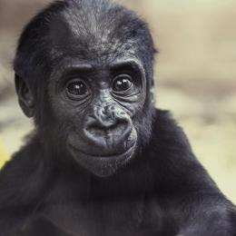 Obraz Mládě gorily nížinné