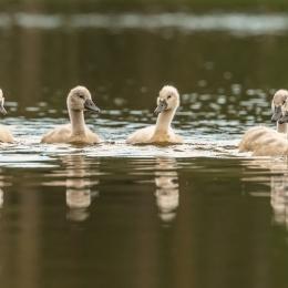 Obraz Mláďata labutí ve vodě