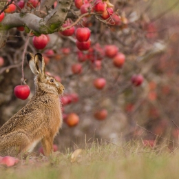 Zajíc polní pod jabloní