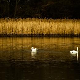 Obraz Jezírko s labutěmi