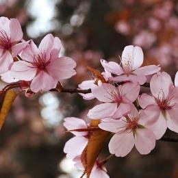 Obraz Květ sakury
