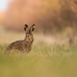 Obraz Zajíc polní na louce