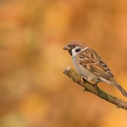 Obraz Vrabec polní