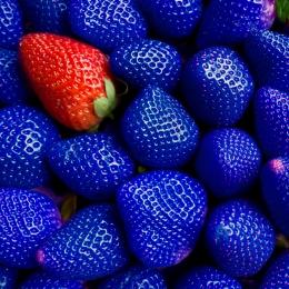 Obraz Cizinec - jedna červená jahoda mezi modrými