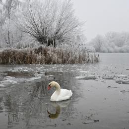 Obraz Labuť na zamrzlém jezeře
