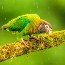 Obraz Zvědavý papoušek v dešti