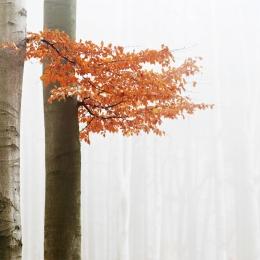 Obraz Buk v podzimní mlze